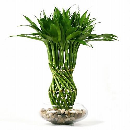 Декоративный бамбук